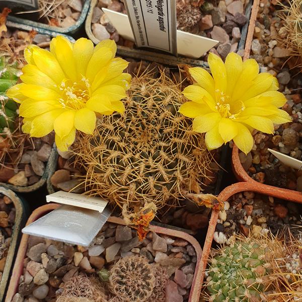 Weingartia arenacea var. candiae