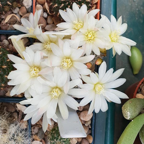 Cultivar Vanilla Ice