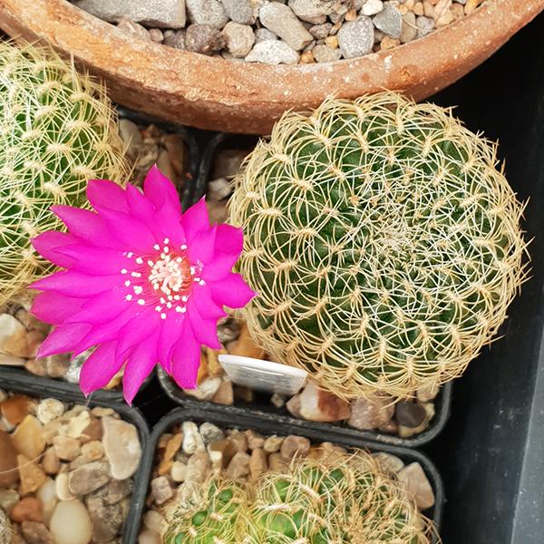 Weingartia roberto-vasquezii LH1741 (pink form)