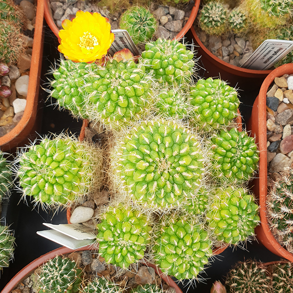 Weingartia vargasii var. viridissima WK996