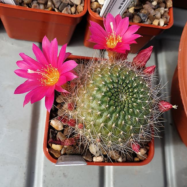Aylostera grandiflora x aureiflora WR158