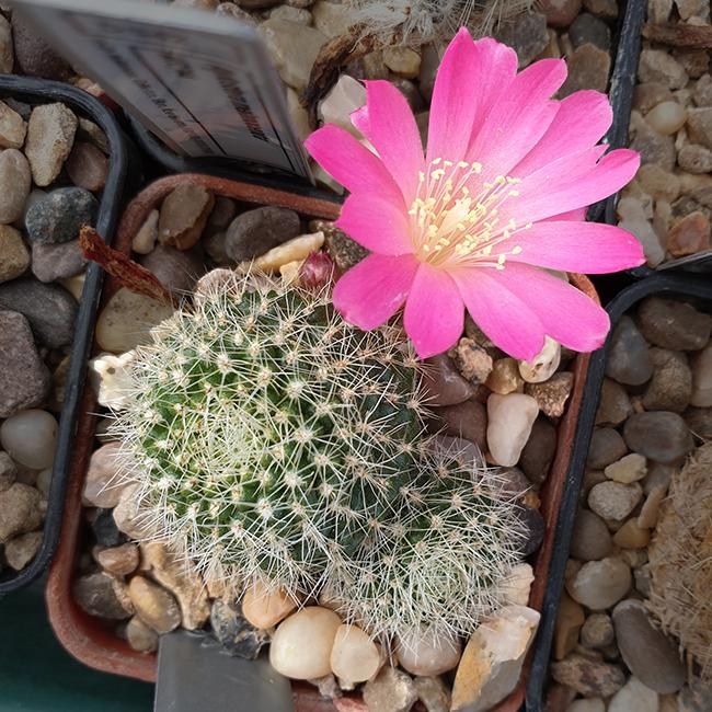 Rebutia xanthocarpa var. violaciflora
